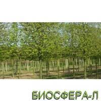 Граб звичайний або європейський «Франс Фонтейн» (Carpinusbetulus FransFontaine)