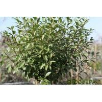 Слива шаровидная Умбракулифера Prunuseminens Umbraculifera