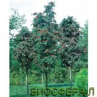 Рябина обыкновенная Фастигиата Sorbus aucuparia Fastigiata