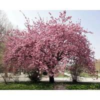 Слива мелкопильчатая (Сакура) Канзан Prunus serrulata Kanzan