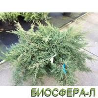 Можжевельник средний Компакта (Juniperus Pfitzeriana Compacta)