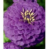 Цинния Фиолетовый принц