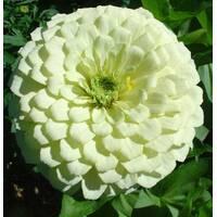Цинія Білий принц за 0,5 г (ЕНК-261)