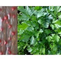 Дражированные семена на ленте Петрушка листовая Гигантелла