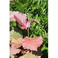 Corylus 'Rode Zellernoot'