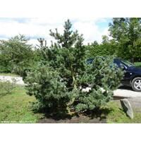 Pinus parviflora 'Glauca' СОСНА ДРІБНОКВІТА