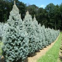 Picea pungens 'Iseli Fastigiate' ЯЛИНА КОЛЮЧА