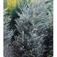 Можжевельник Silver star variegata (2-4 л)
