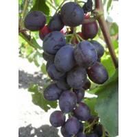 Живці винограду Аюта