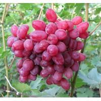 Живці винограду Велес, купити