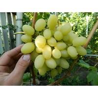 Живці винограду Конвалія, купити