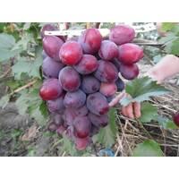 Живці винограду Еверест, купити