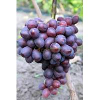 Саджанці винограду Пам'яті Вчителя, купити