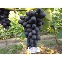 Саджанці винограду Надія Рання, купити