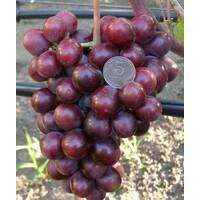 Саджанці винограду Подарунок Нєсвєта, купити