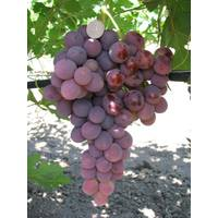 Саджанці винограду Лада-Т, купити