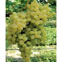 Саджанці винограду Володар, купити недорого