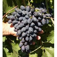 Саджанці винограду Атос, купити недорого