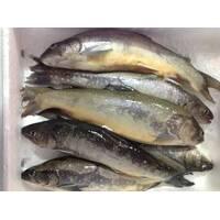 Рыба охлажденная - Голец Арктический 500+