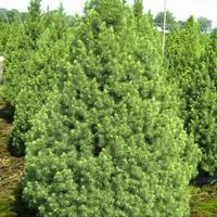 Ялина Glauca Conica (2-4 л)