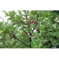 Саженцы Гуми (гумми) Урожайный Вавилова лох многоцветковый (Elaeagnus multiflora)
