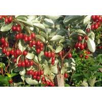 Саженцы Гуми (гумми) Цунай (Шикотан) лох многоцветковый (Elaeagnus multiflora)