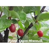 Саженцы Гуми (гумми) Южный лох многоцветковый (Elaeagnus multiflora)
