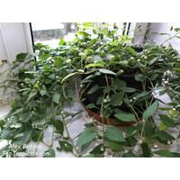 Солодка трава ацтеків Lippia Dulcis Colada (ОКН-1772) за 0,5-1,5 л