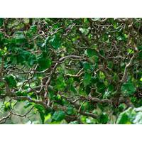 Ліщина звичайна Corylus avellana Contorta купити у Луцьку