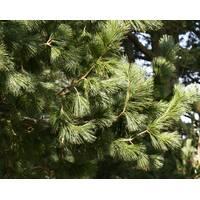 Vandeputte Бельг Pinus peuce С3 купить в Украине
