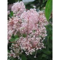 Цеанотус pallidus Marie Simon рожевий купити недорого