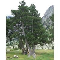 Сосна горная унцината Pinus mugo uncinata купить в Украине