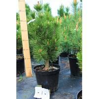 Сосна белокорая Pinus leucodermis купить в розницу