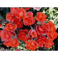 Саженцы бордюрных роз