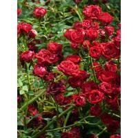 Троянда ґрунтопокривна Ред Каскейтед (ІТЯ-311)