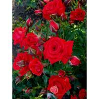 Троянда спрей Ред Макарена (ІТЯ-296)
