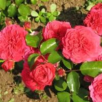 Троянда поліантова Хелоу (ІТЯ-312)