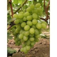 Саджанці винограду Катруся купити в Україні