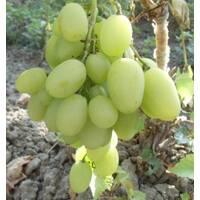 Саджанці винограду Іларія купити в Києві