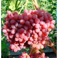 Саджанці винограду Розмус купити в Чернівцях