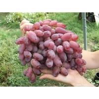 Саджанці винограду Шахиня Ірану купити в Україні