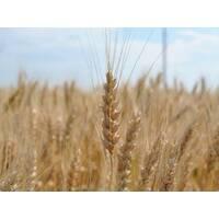 Семена озимой пшеницы Золотоколосая (Элита)