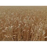 Семена озимой пшеницы Бория (Элита)