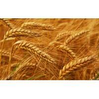 Семена пшеницы озимой Смуглянка (Элита)