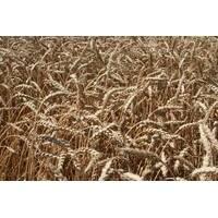 Семена озимой пшеницы Наснага (Первая репродукция)