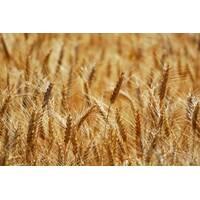 Семена пшеницы Городница (Суперэлита)