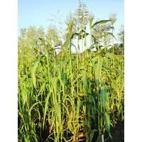 Суданська трава за 0,5 кг (ЕСД-5В)