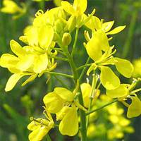 Гірчиця жовта (ЕСД-20) за 0,5 кг