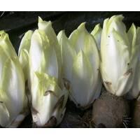 Цикорий салатный Витлуф