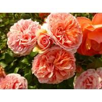 Троянда шраб Чіп енд Дейл (ІТЯ-308)
